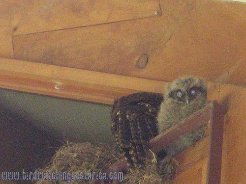 [:en]Bird Tropical Screech-Owl[:es]Ave Lechucita Neotropical[:]