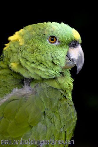 [:en]Bird Yellow-naped Parrot[:es]Ave Lora de Nuca Amarilla[:]