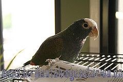 [:en]Bird White-crowned Parrot[:es]Ave Loro Coroniblanco, Chucuyo[:]