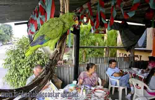 [:en]Bird White-fronted Parrot[:es]Ave Loro Frentiblanco[:]