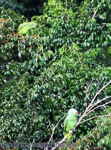 [:en]Bird Red-lored Parrot[:es]Ave Loro Frentirrojo, Lora[:]