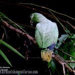 [:en]Bird Mealy Parrot[:es]Ave Loro Verde[:]