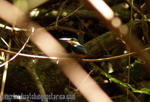 [:en]Bird Green-and-rufous Kingfisher[:es]Ave Martín Pescador Vientrirufo[:]