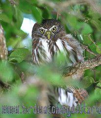 [:en]Bird Ferruginous Pygmy-Owl[:es]Ave Mochuelo Común[:]