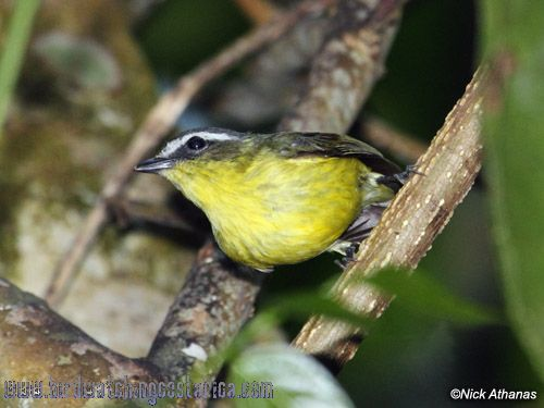 [:en]Bird Yellow-bellied Tyrannulet[:es]Ave Mosquerito Cejiblanco[:]