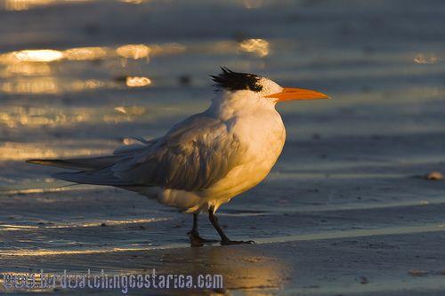 [:en]Bird Royal Tern[:es]Ave Pagaza Real[:]
