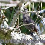 [:en]Bird Gray Catbird[:es]Ave Pájaro-gato Gris[:]