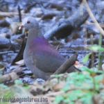 [:en]Bird Gray-headed Dove[:es]Ave Paloma Montaráz Cabecigris[:]