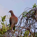 [:en]Bird Pale-vented Pigeon[:es]Ave Paloma Morada[:]