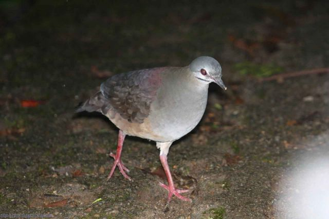 [:en]Bird Purplish-backed Quail-Dove[:es]Ave Paloma-Perdiz Sombría[:]