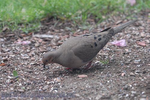 [:en]Bird Mourning Dove[:es]Ave Paloma Rabuda[:]