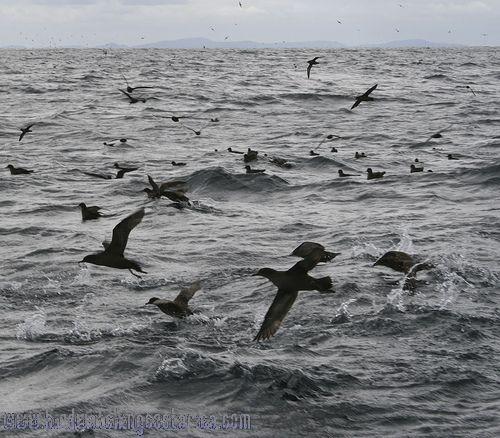 [:en]Bird Short-tailed Shearwater[:es]Ave Pardela Colicorta[:]