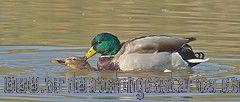 [:en]Bird Mallard[:es]Ave Pato Cabeciverde[:]