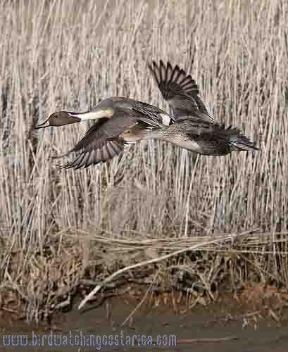 [:en]Bird Northern Pintail[:es]Ave Pato Rabudo[:]