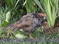 [:en]Bird Buffy-crowned Wood-Partridge[:es]Ave Perdiz Montañera[:]