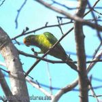 [:en]Bird Orange-fronted Parakeet[:es]Ave Perico Frentinaranja[:]