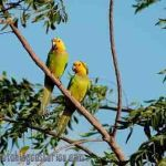 [:en]Bird Brown-throated Parakeet[:es]Ave Perico Gorgicafé[:]