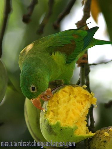 [:en]Bird Orange-chinned Parakeet[:es]Ave Periquito Barbinaranja[:]