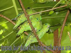 [:en]Bird Barred Parakeet[:es]Ave Periquito Listado[:]