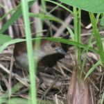 [:en]Bird Gray-breasted Crake[:es]Ave Polluela Pechigris[:]