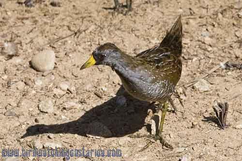 [:en]Bird Sora[:es]Ave Polluela Sora o Norteña[:]