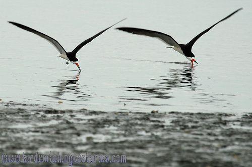 [:en]Bird Black Skimmer[:es]Ave Rayador Negro[:]
