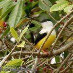 [:en]Bird White-collared Manakin[:es]Ave Saltarín Cuelliblanco[:]