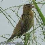 [:en]Bird Bobolink[:es]Ave Tordo Arrocero[:]