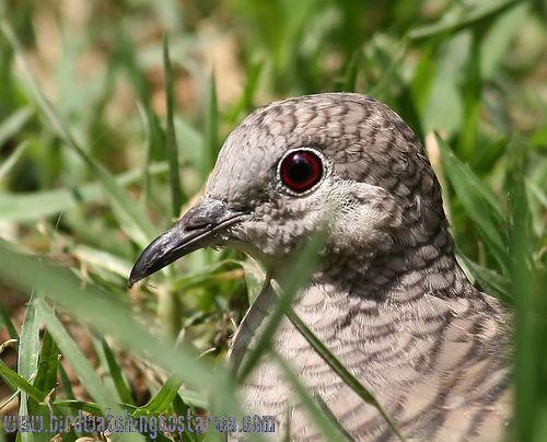 [:en]Bird Inca Dove[:es]Ave Tortolita Colilarga[:]