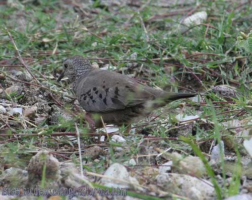[:en]Bird Common Ground-Dove[:es]Ave Tortolita Común[:]