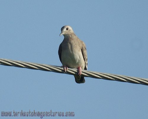 [:en]Bird Plain-breasted Ground-Dove[:es]Ave Tortolita Menuda[:]