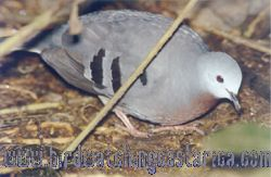 [:en]Bird Maroon-chested Ground-Dove[:es]Ave Tortolita Serranera[:]