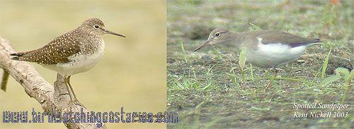 [:en]Bird Solitary Sandpiper[:es]Ave Tringa Solitaria[:]