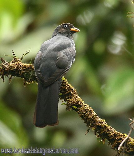 [:en]Bird Lattice-tailed Trogon[:es]Ave Trogón Ojiblanco[:]