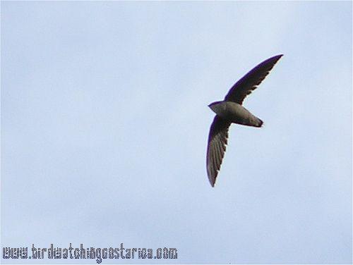 [:en]Bird Chimney Swift[:es]Ave Vencejo de Paso[:]