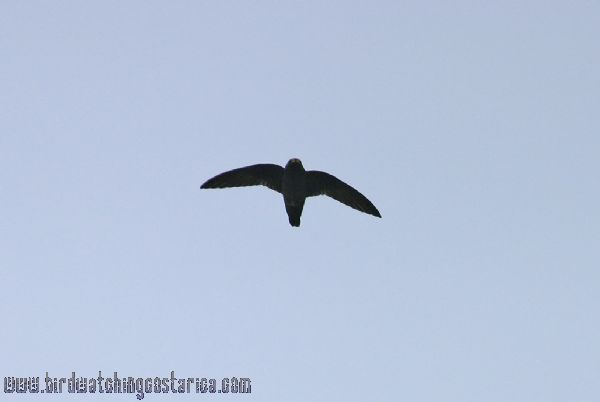 [:en]Bird White-chinned Swift[:es]Ave Vencejo Sombrío[:]