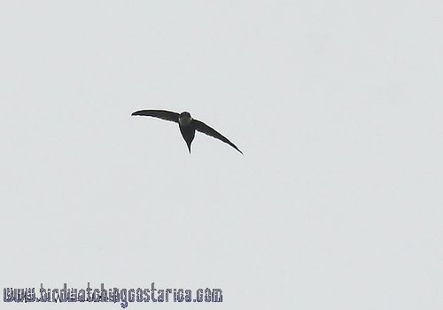 [:en]Bird Lesser Swallow-tailed Swift[:es]Ave Vencejo Tijereta Menor, Macuá[:]