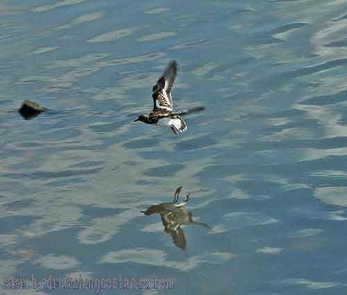 [:en]Bird Ruddy Turnstone[:es]Ave Vuelvepiedras Rojizo[:]