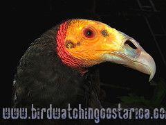 [:en]Bird Lesser Yellow-headed Volture[:es]Ave Zopilote Cabecigualdo[:]
