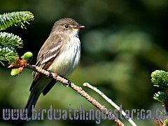 [:en]Bird Alder Flycatcher[:es]Ave Mosquerito de Charral[:]