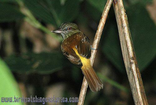 [:en]Bird Bright-rumped Attila[:es]Ave Arila Lomiamarilla[:]