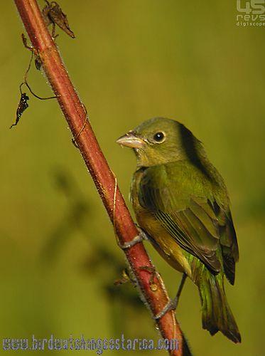 [:en]Bird Painted Bunting[:es]Ave Azulillo Sietecolores[:]