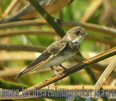 [:en]Bird Bank Swallow[:es]Ave Golondrina Ribereña[:]