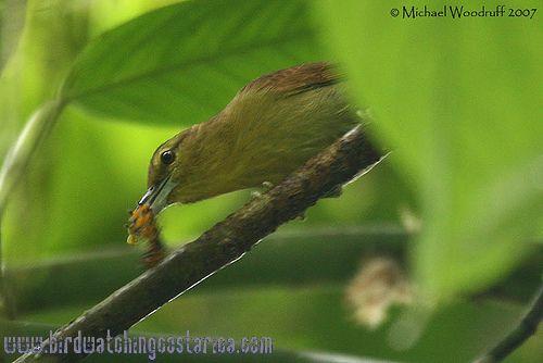 [:en]Bird Russet Antshrike[:es]Ave Batará Café[:]