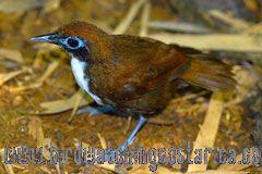 [:en]Bird Bicolored Antbird[:es]Ave Hormiguero Bicolor[:]