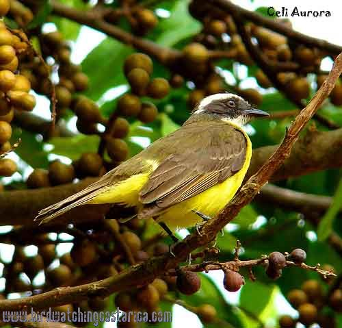 [:en]Bird Rusty-margined Flycatcher[:es]Ave Bienteveo Alicastaño[:]