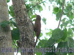 [:en]Bird Black-banded Woodcreeper[:es]Ave Trepador Ventribarreteado[:]