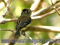 [:en]Bird Black-capped Flycatcher[:es]Ave Mosquerito Cabecinegro[:]