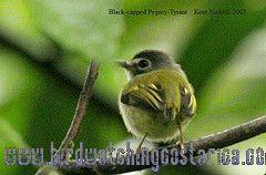 [:en]Bird Black-capped Pygmy-Tyrant[:es]Ave Mosquerito Colicorto[:]