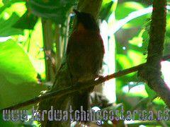 [:en]Bird Black-cheeked Ant-Tanager[:es]Ave Tangara Hormiguera Carinegra[:]